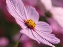 cosmo, flor, pantalla