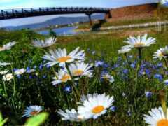 ромашка, мост, природа