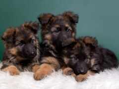 овчарка, щенок, german