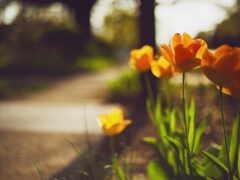 тюльпан, primavera, pantalla