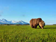 медведь, бурый, травка