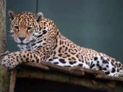 леопард, кошки, tigers