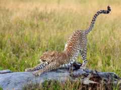 леопарды, леопард, коллекция