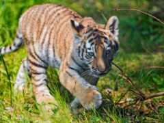 тигр, кот, трава