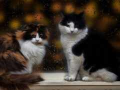 tapetum, коты