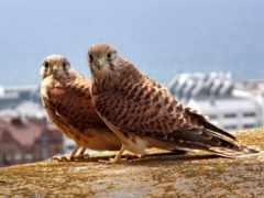 птица, kestrel, free