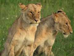 lion, animal, львица