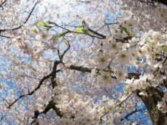 цветение, весна, cherry