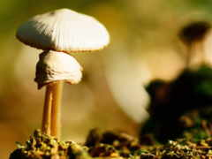 jamur, грибы, ponsel