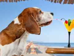 собаки, beagle, коктейль