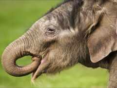 слон, глаза, baby