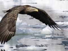 орлан, white, tailed