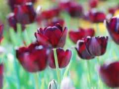 тюльпаны, cvety, бордовые