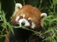 панда, есть, red