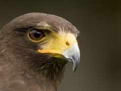 перепелятник, птица, полете