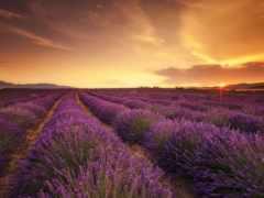lavender, поле, высокого