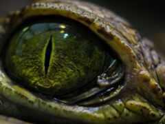 глаз, reptiliya, makryi