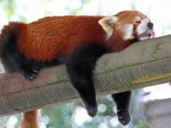 панда, красная, малая Фон № 162858 разрешение 3000x2000