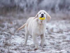 собака, tema, ретривер