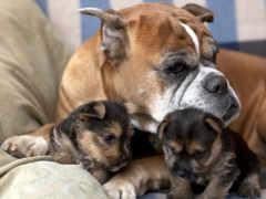 собак, boxer, собака