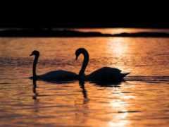 лебедь, black, картинка