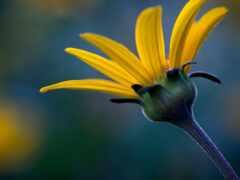 helianthus, видов, wide