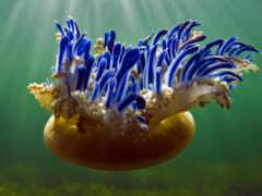 море, jellyfish, рейна