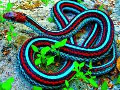 snake, ядовитый, отличить