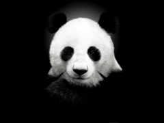 панда, панды Фон № 6468 разрешение 1920x1200
