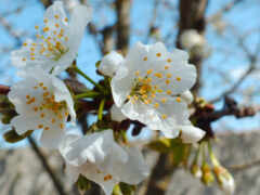 цветок, vesna, цветение