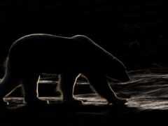 медведь, polar