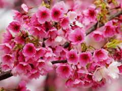 цветущая, сакуры, branch