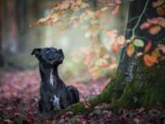 собака, black, tapety