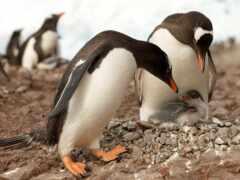пингвин, пингвины, nkarner