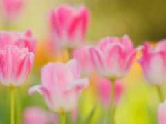 images, apk, tulips