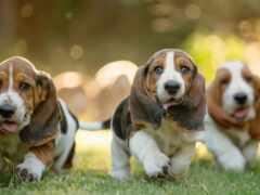 хаунд, бассет, собака