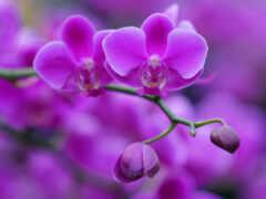 orquídea, лан, hoa