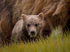 zhivotnye, нарисованные, медведь