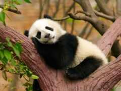 панда, спать, они