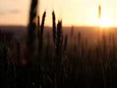 колосок, поле, пшеница