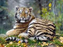 animal, тигр, листва