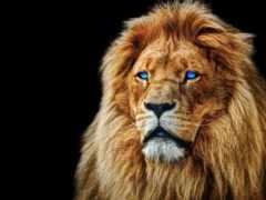 lion, глаз, blue
