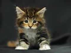 пушистый, котенок, sit