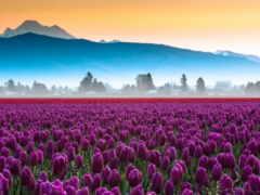 тюльпаны, фиолетовые, поле