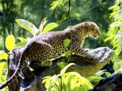 кот, леопард, jungle