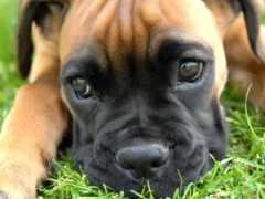 бульмастиф, собак, фото