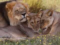 lion, left, семья