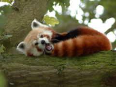 панда, красная, firefox