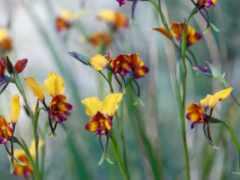 орхидеи, дикие, природе