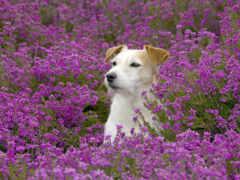 собака, цветы, поле